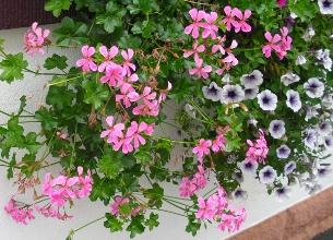 bunt gemischte Balkonblumen