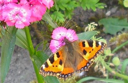 Bartnelken Schmetterlingsblumen