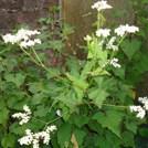 Baumspinat mit Blüte