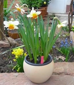 Blumenzwiebeln vortreiben