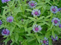 Filz-Flockenblume