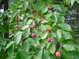 Hartriegel Früchte