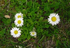 Korbblütler Gänseblümchen