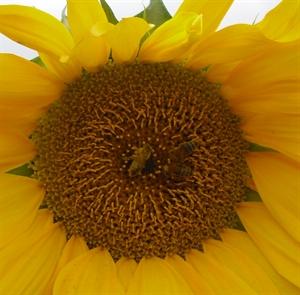 Korbblütler Sonnenblume