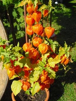 Lampionblume pflanzen