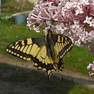 Schmetterlingsfreundlicher Garten