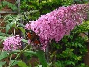 Steckbrief Schmetterlingsflieder