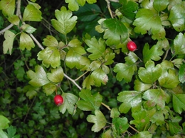 Weißdorn Frucht