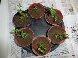 neu eingepflanzte Stecklinge